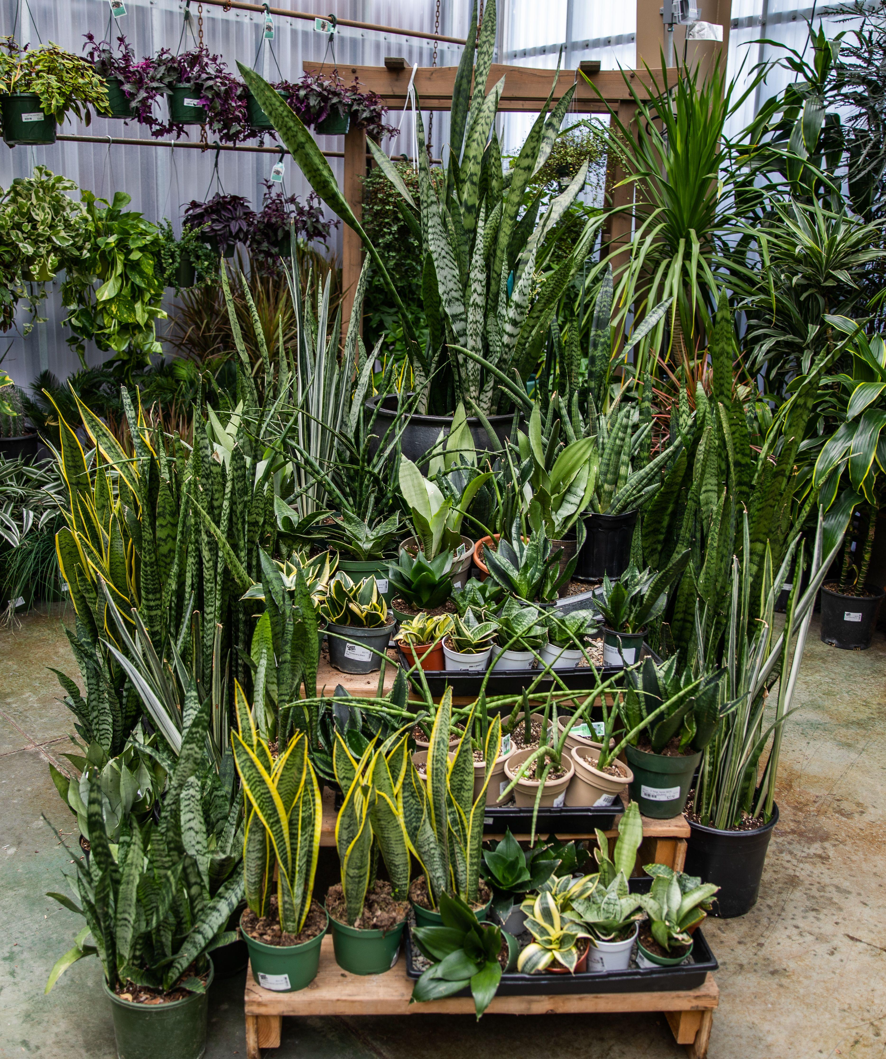 Snake Plant Black Coral Plants Plant Decor Indoor Plants