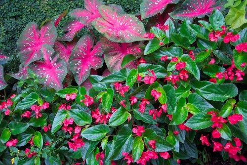 Angel Wing Begonia Mixed With Caldium Is Beautiful Flower Garden Shade Plants Landscaping Atlanta