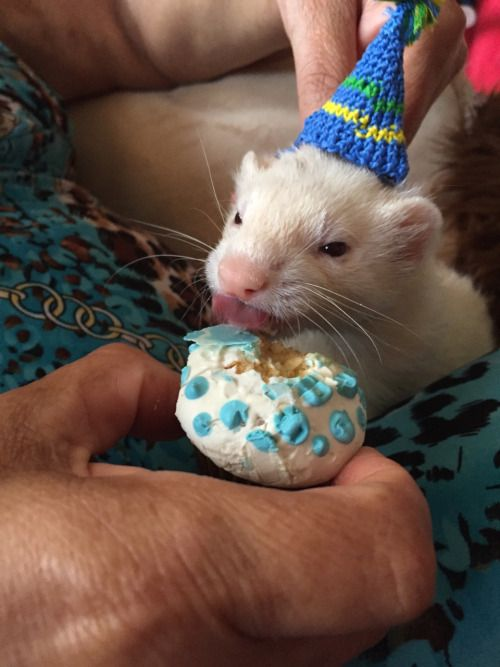 Happy Birthday Playdoh The Ferret Age 5 And Just As Handsome As