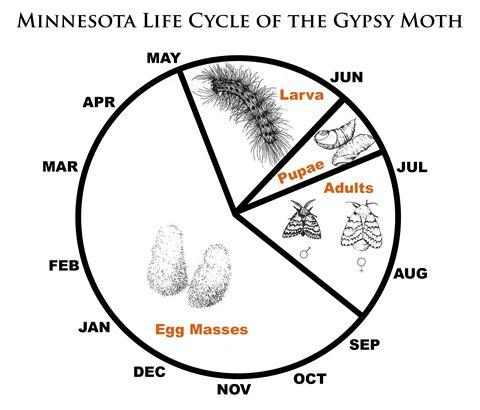 Light Brown Apple Moth Life Cycle