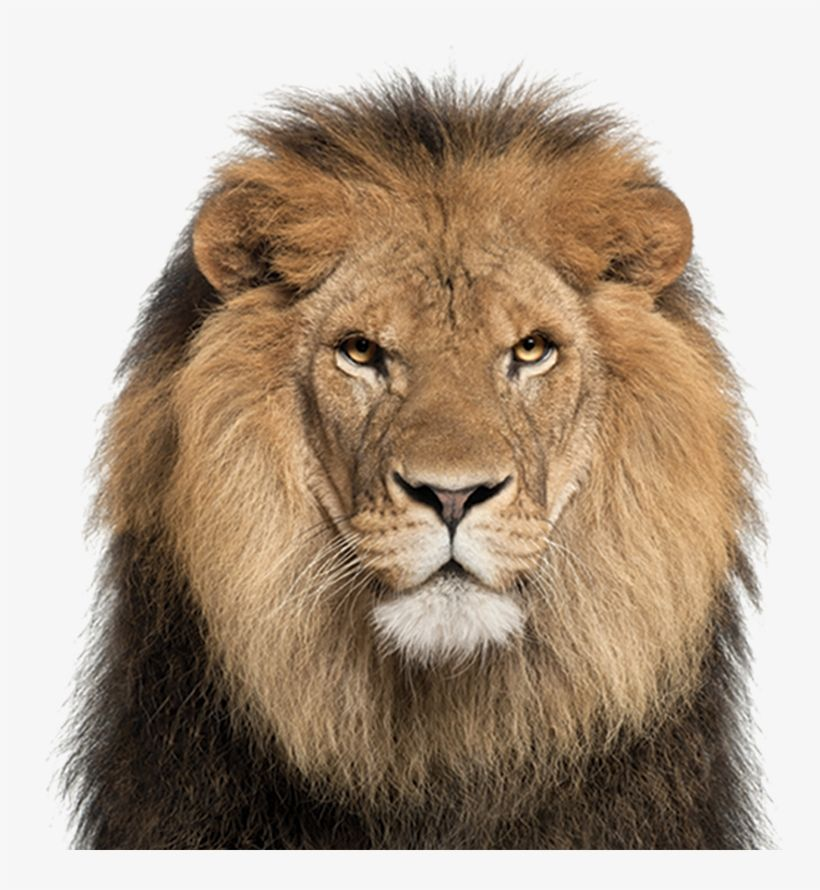 Download African Lion Lion Face White Background For Free Nicepng Provides Large Related Hd Transparent Png Imag Lion Pictures Animal Silhouette Lion Images