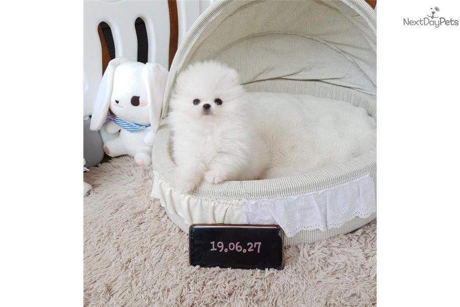 If Teddy Bear Puppies Weren T Cute Enough Teacup Teddy Bear Puppies Are Now Getting More Attention So What Teacup Puppies Teddy Bear Puppies Pomeranian Puppy