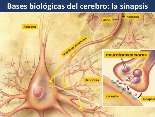 Bases Biológicas Del Aprendizaje Neuronas Neurotransmisores Aprendizaje
