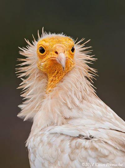 egyptian vulture aka pharoah's chicken | kiran poonacha