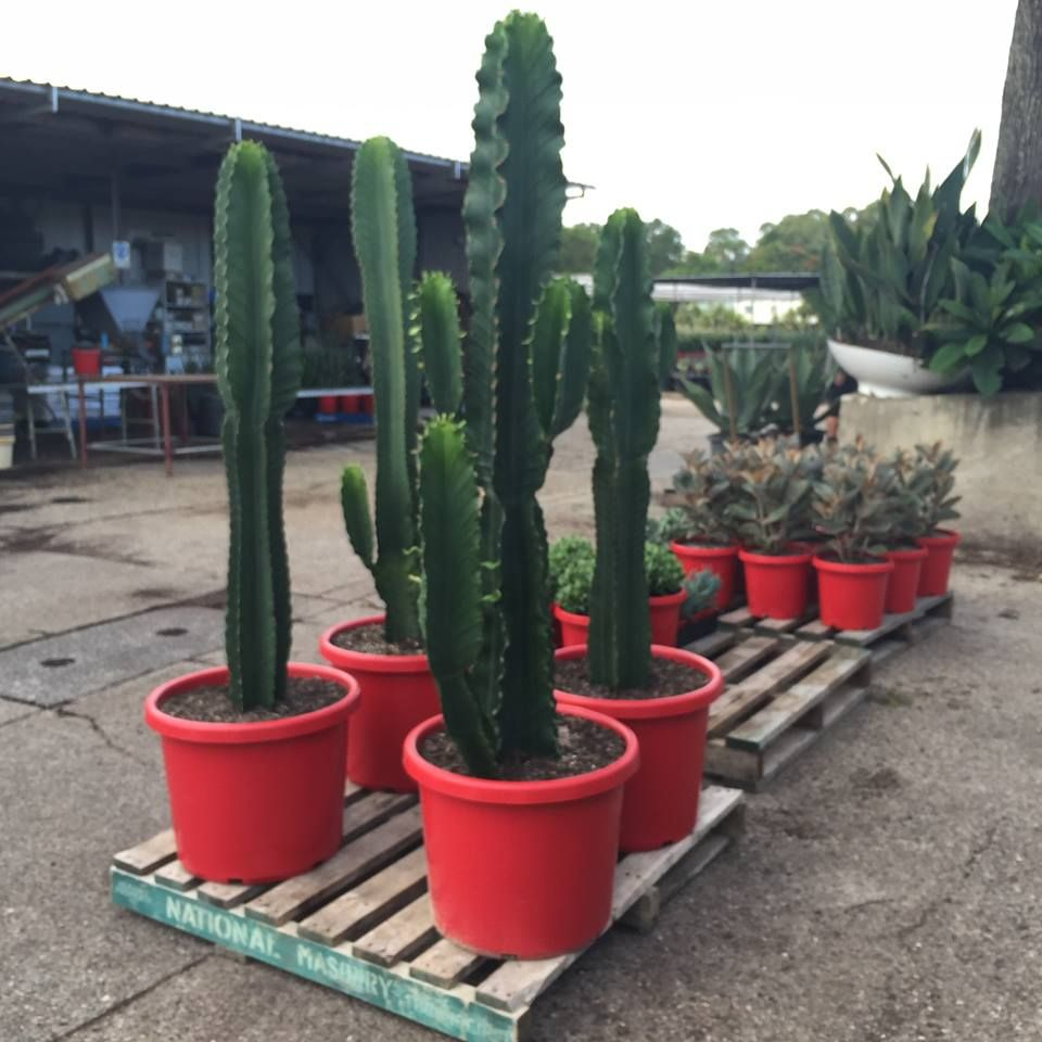 The Biggest Of Them All Euphorbia Ingens Candelabra Spring Release In 300mm And 500mm Pots Suculentas Plantas Jardines