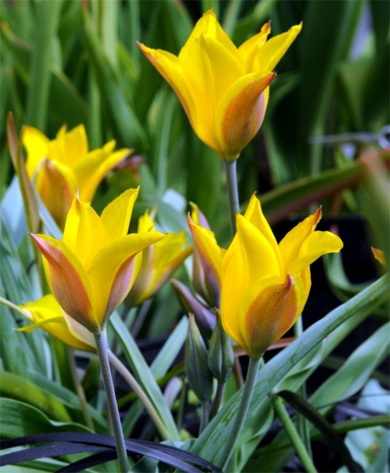 Tulipa Kolpakowskiana Species Tulips Tulips Flower Bulb Index Botanical Tulip Planting Bulbs Bulb Flowers