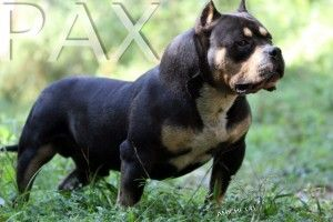 What Are The Differences Between The American Bully Standard Bully