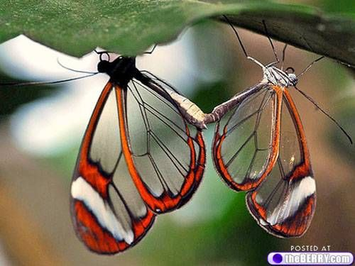 Glasswing Butterflies!