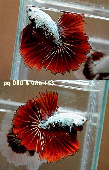 fwbettashm1400349310 - Bad Red Dragon HM Male pq 080086155