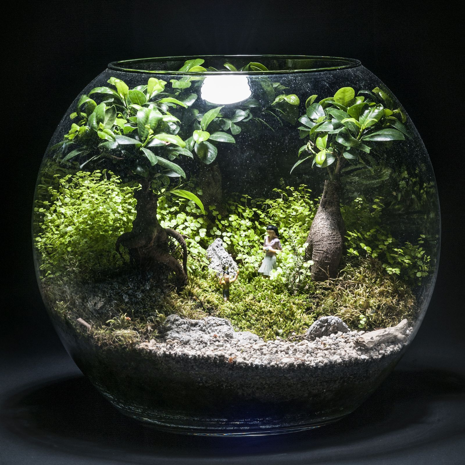 terrarium trois ficus ginseng et helixine vendu terrarium pinterest ficus terraria and bonsai. Black Bedroom Furniture Sets. Home Design Ideas