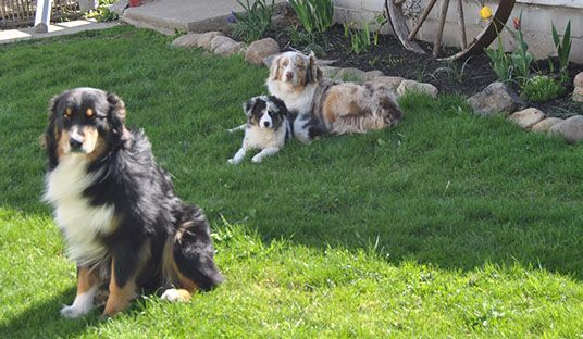 Rfcc Australian Shepherds Australian Shepherd Shepherd Dogs