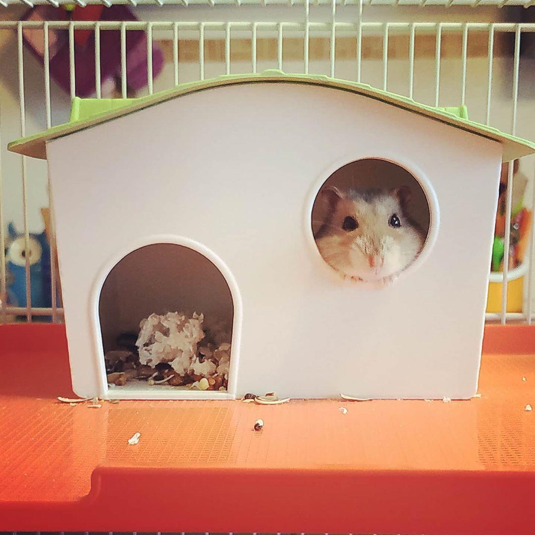 Buongiorno Criceto Cricetorusso Hamster Russianhamster Hamstergram Hamsterlife Hamsterphoto Hamsterslove In 2020 Hamster Life Russian Hamster Hamster
