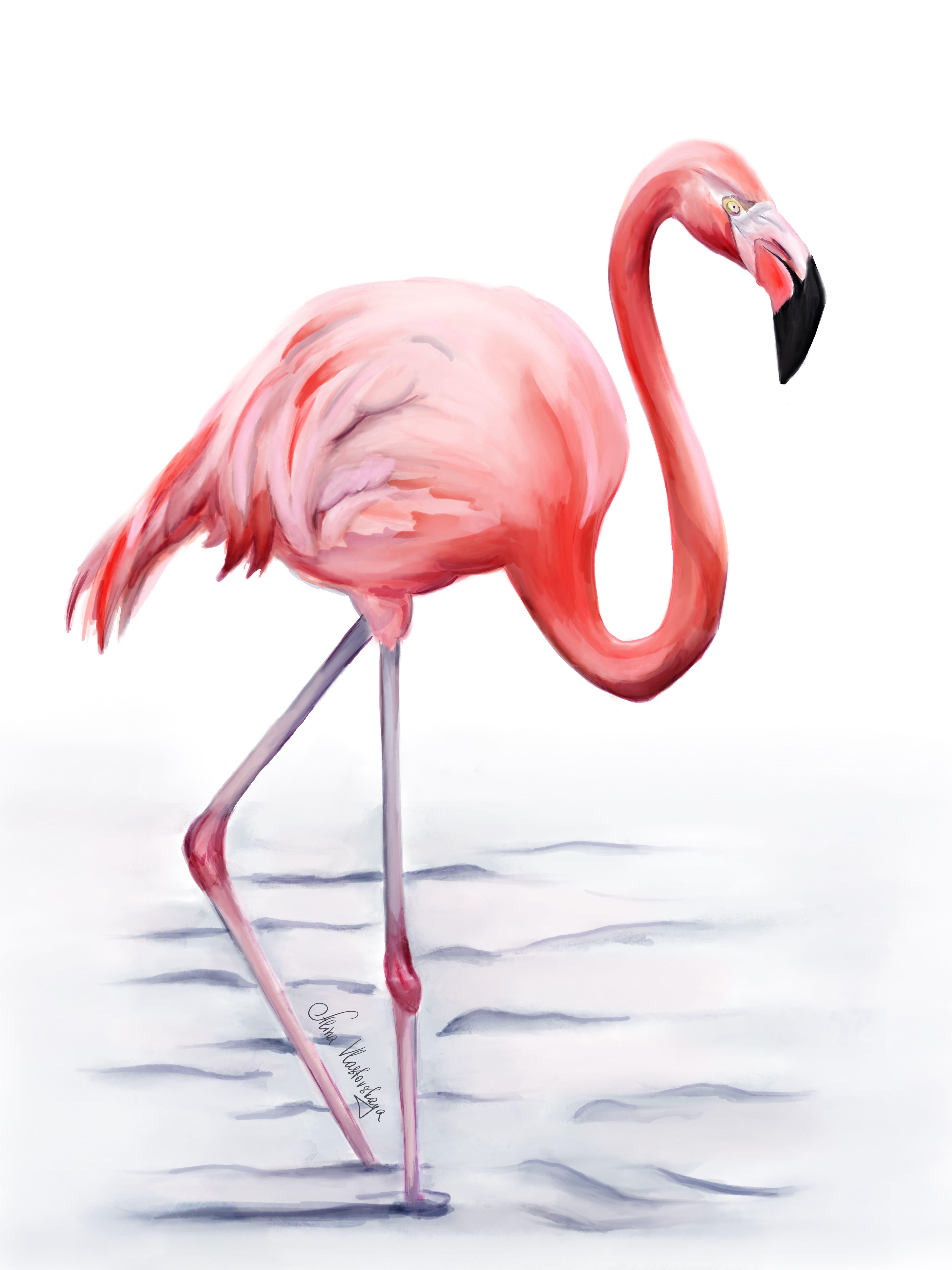 Фото фламинго на белом фоне