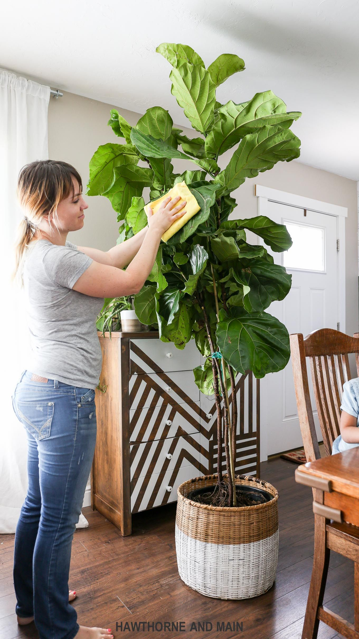 fig tree care on how to care for a fiddle leaf fig tree hawthorne and main plants fiddle leaf fig care fiddle leaf fig how to care for a fiddle leaf fig tree