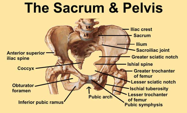 Image 1 Diagram Of Pelvis And Sacrum With Bony Landmarks Identified