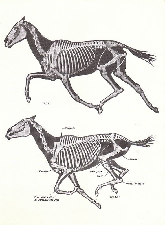Vintage Horse Skeleton Trot Gallop Book Page From The 1940s