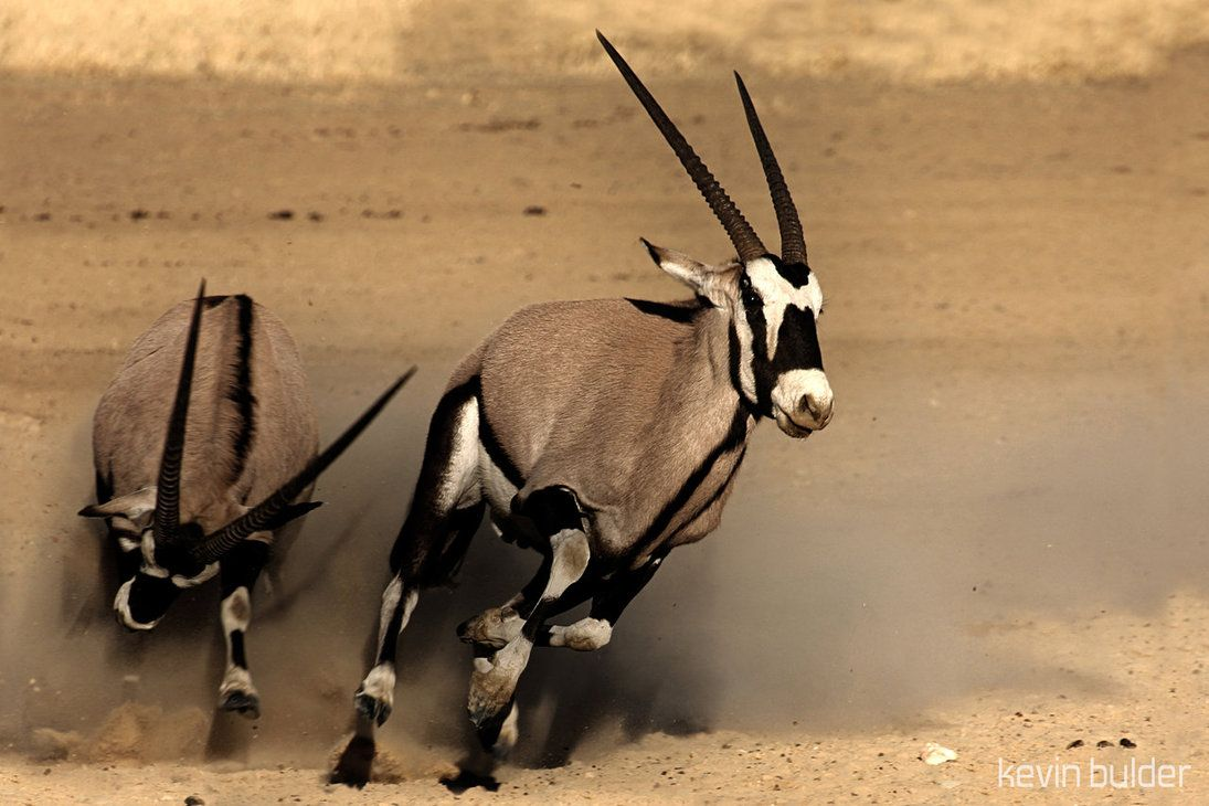 Oryx loser running away from a fight, by Kbulder.