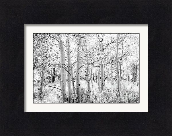 Aspen Trees In Black And White Framed Print by Amy Sorvillo. All ...