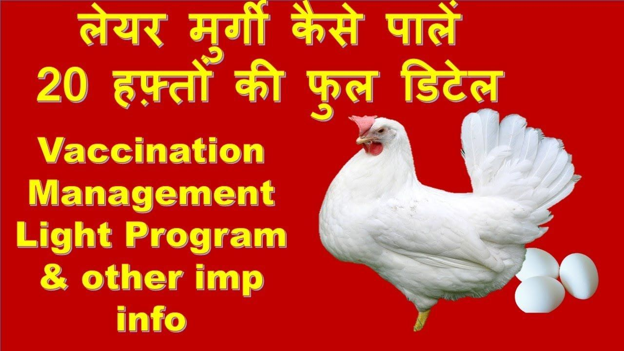 Layer Bird Management Basics of Layer (eggs) Farming