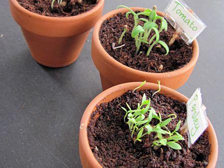 Indoor gardening for preschoolers growing vegetable soup hss indoor gardening for preschoolers workwithnaturefo