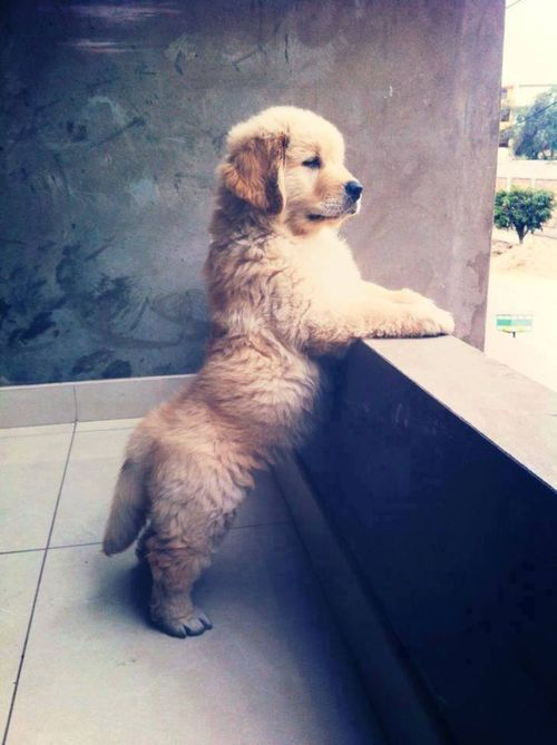 Must see Golden Retriever Chubby Adorable Dog - fa20e8c34788ae4130f9c6b1bcc1a430  2018_597379  .jpg