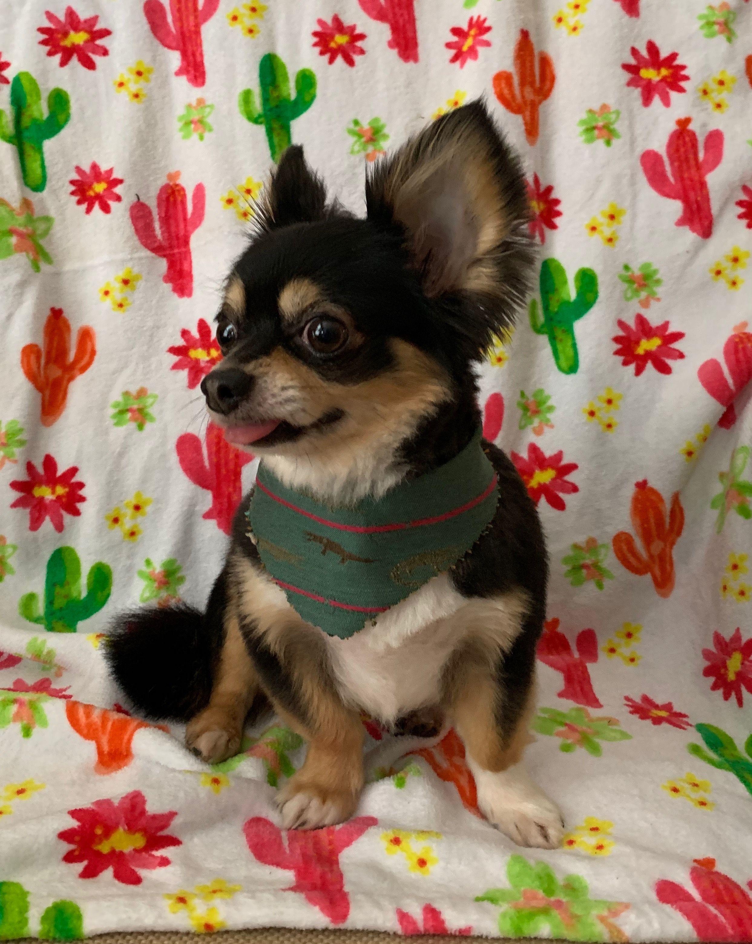 Pin By Kimberly Stamey On Bear My Chihuahua Cute Animals Chihuahua Dogs Chihuahua