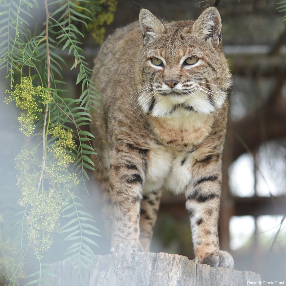Care For A Bobcat At Jackson Galaxy Animal Rescue Animal Rescue