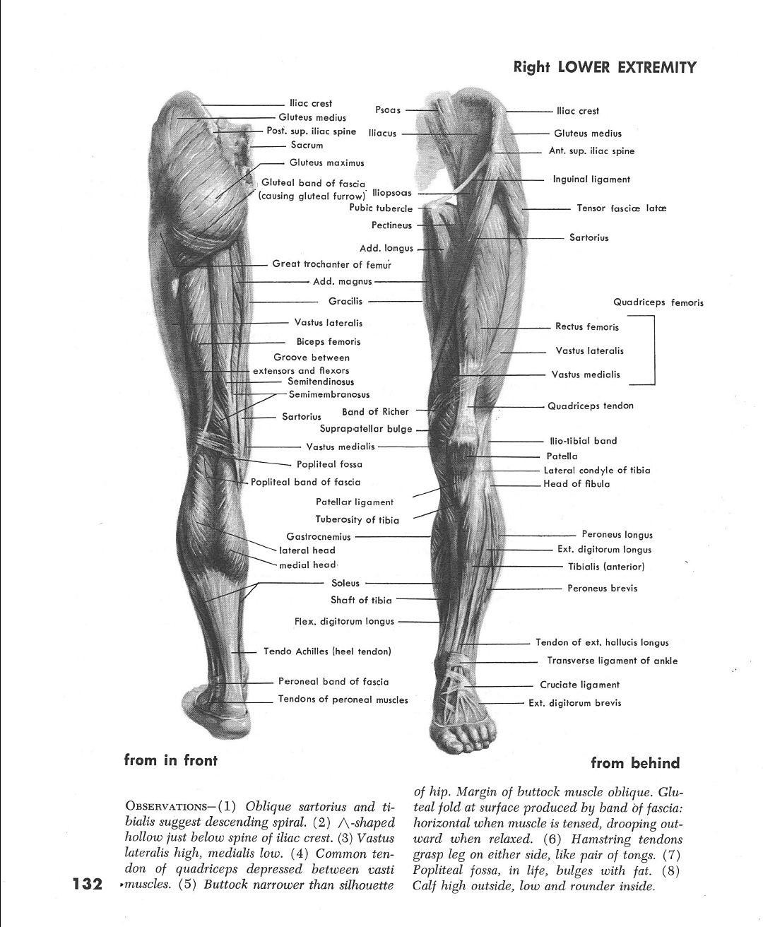 Muscles Of Left Leg Front And Back Ap Anatomy Muscle Legs