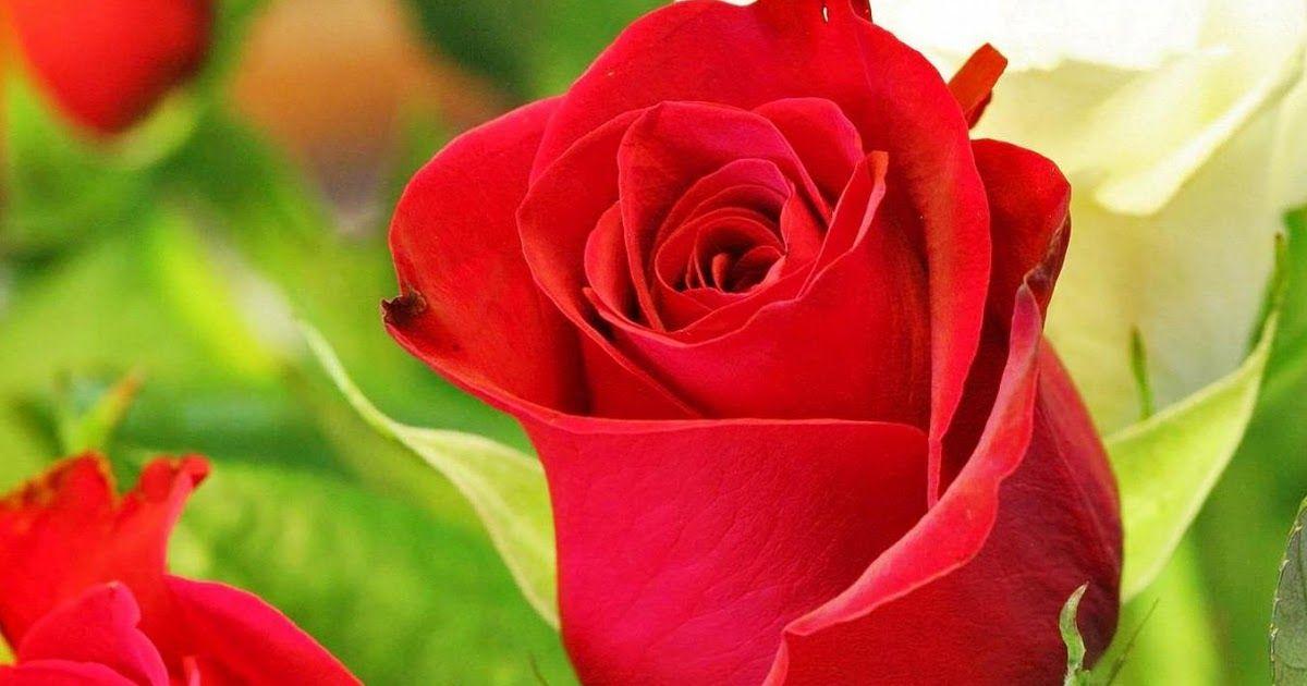 Gambar Bunga Mawar Bergerak Mawar Cantik Wallpaper Bunga Menanam