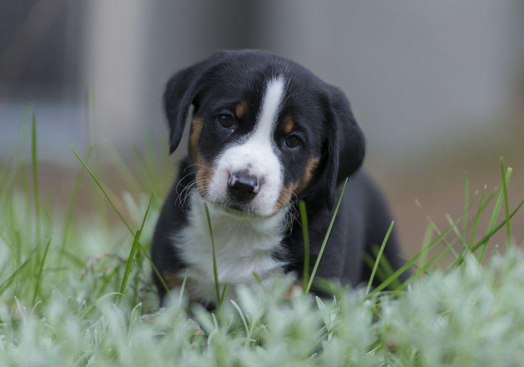 Appenzeller Sennenhund, puppy, Swiss mountain dog