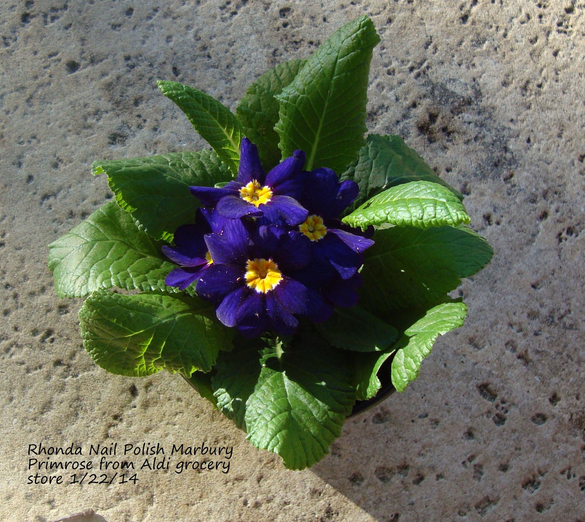 Primrose Purple Flower Purchased From Aldi 1 22 14 For 400 x 300