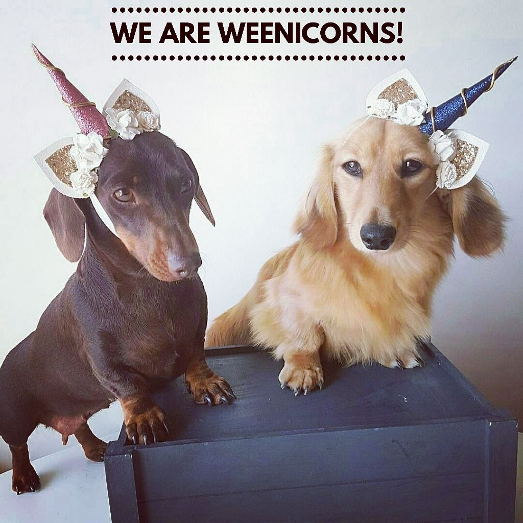 Pin By Doxaholics Anonymous On Dachshunds Funny Dachshund