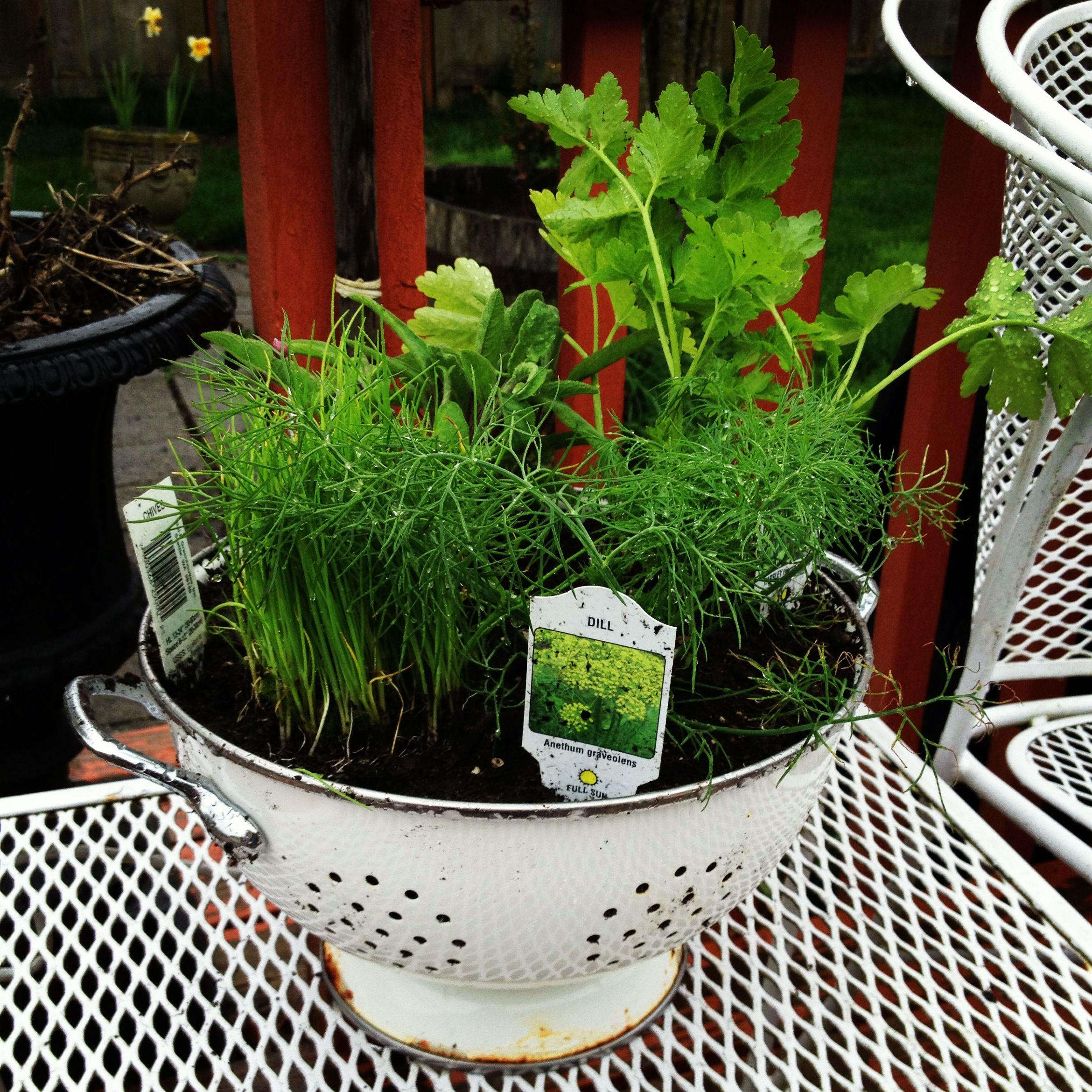 Kitchen Herb Gardens That Will Make Cooking Wonderful: Plant Herbs In A Colander And Set Out On The Deck. I Love