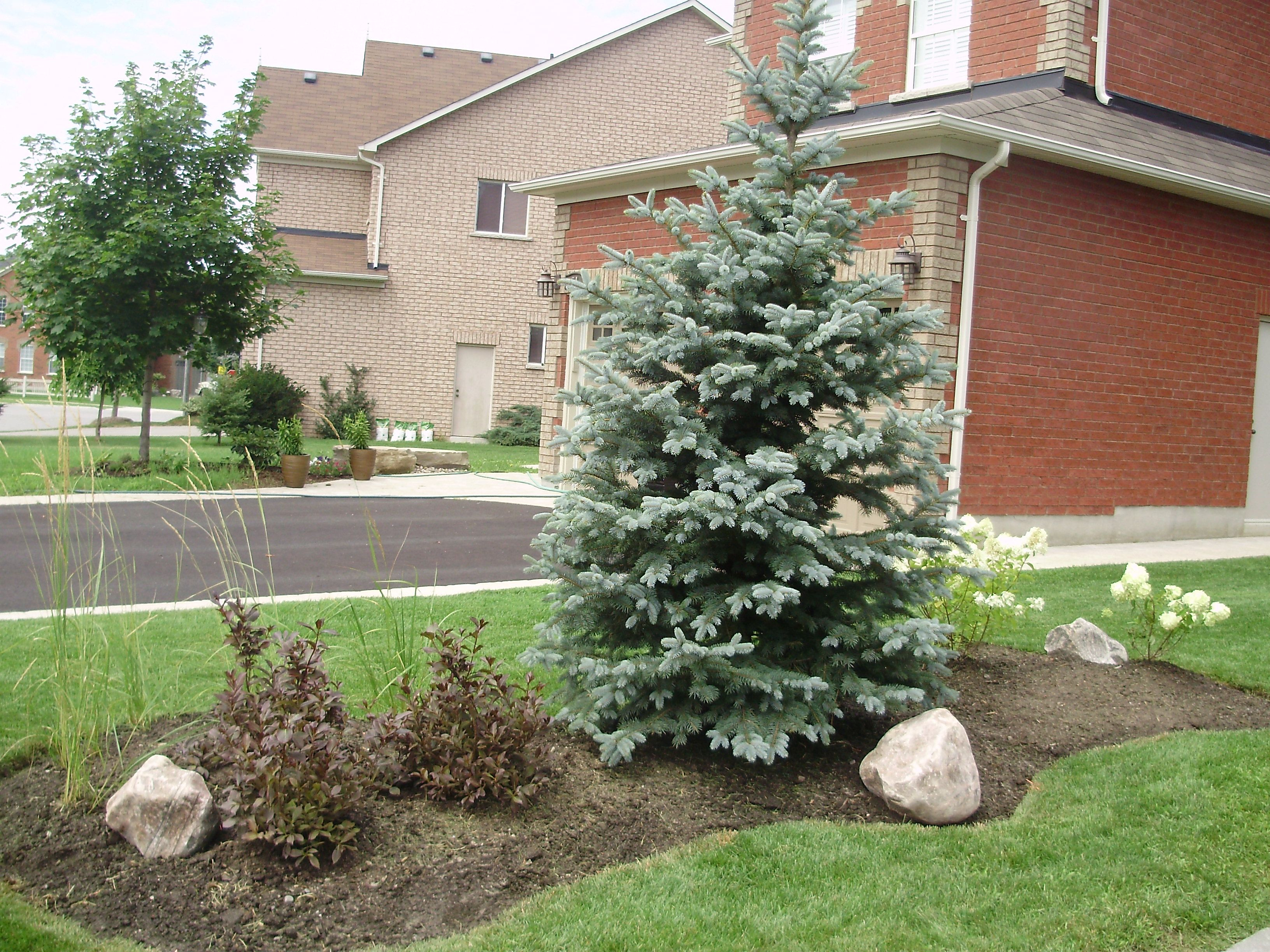 Baby blue eyes blue spruce nice and compact water