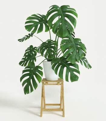 Philodendron monstera Split Leaf Plants