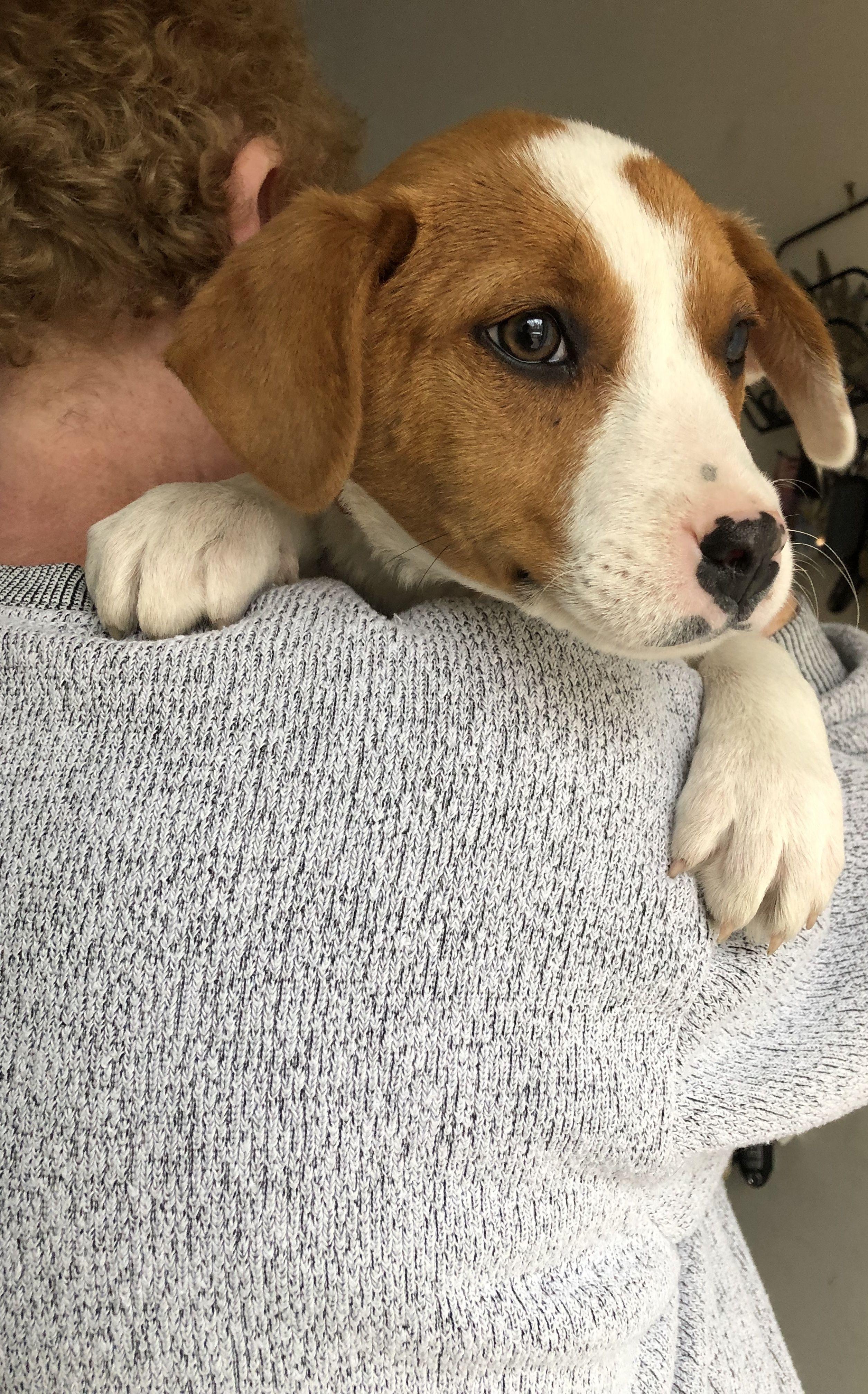 Adopt sosha on Beagle, Dogs, Adoptable beagle