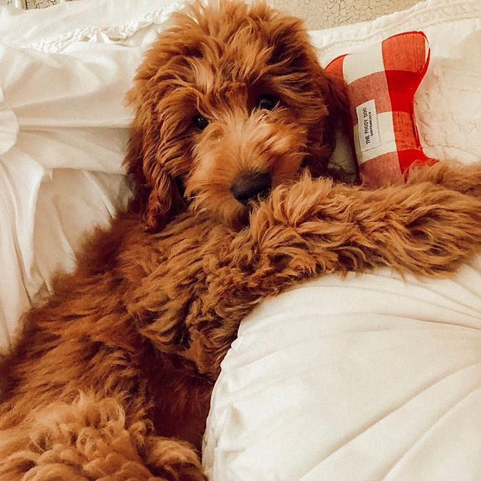 Red Mini Goldendoodle F1b Doodle Puppy Pup Dog Love Cutepuppies Mini Goldendoodle Puppies Doodle Puppy Goldendoodle Puppy