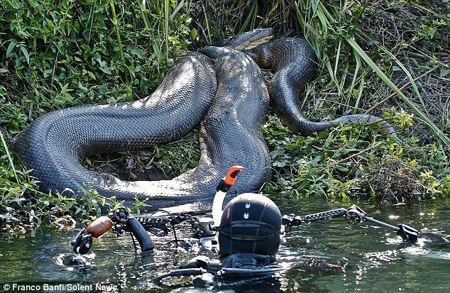 Diver Photographing 26ft Long Monster Anaconda Omg Anaconda