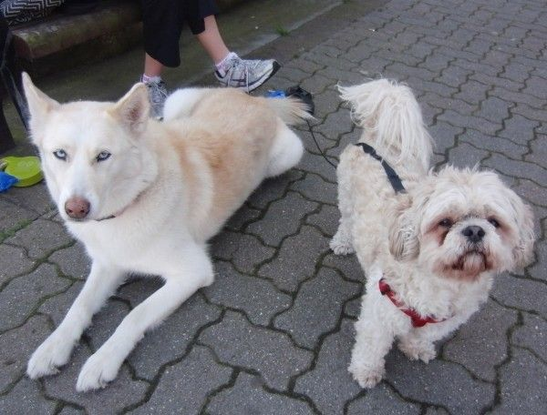 Double Dog Day Isatas The Shepherd Husky And Ddol Ddol The