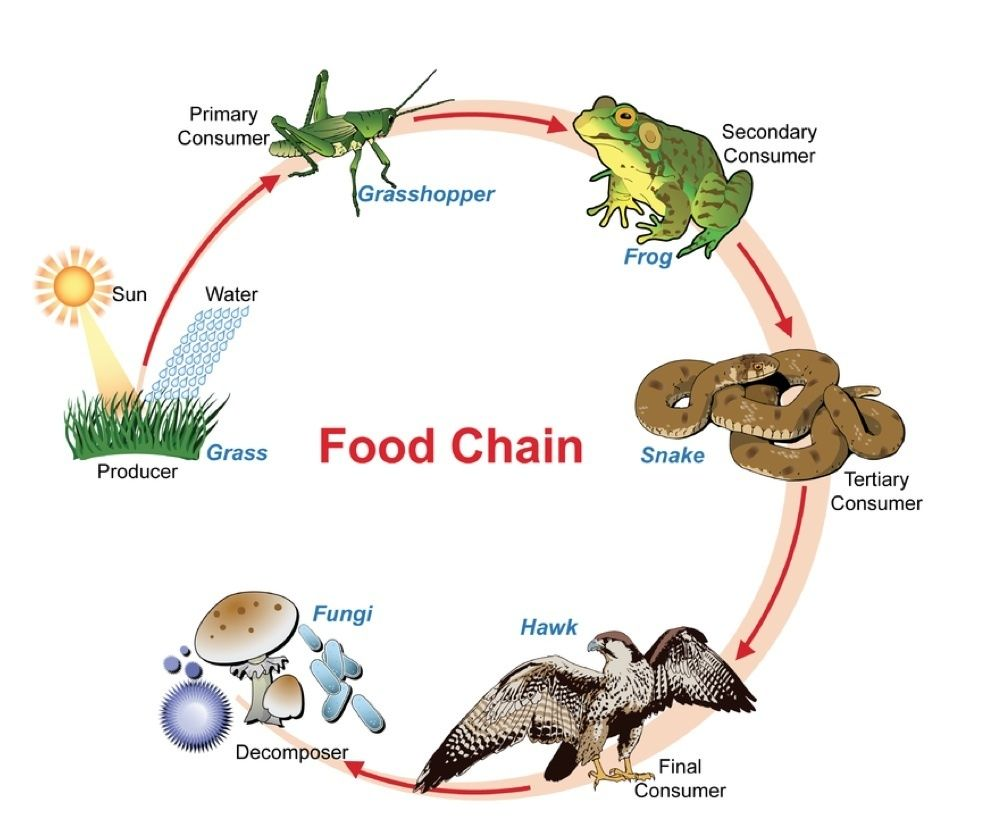 What Is The Proper Layout Of A Food Chain Quora Food Chain Food Chain Activities Simple Food Chain