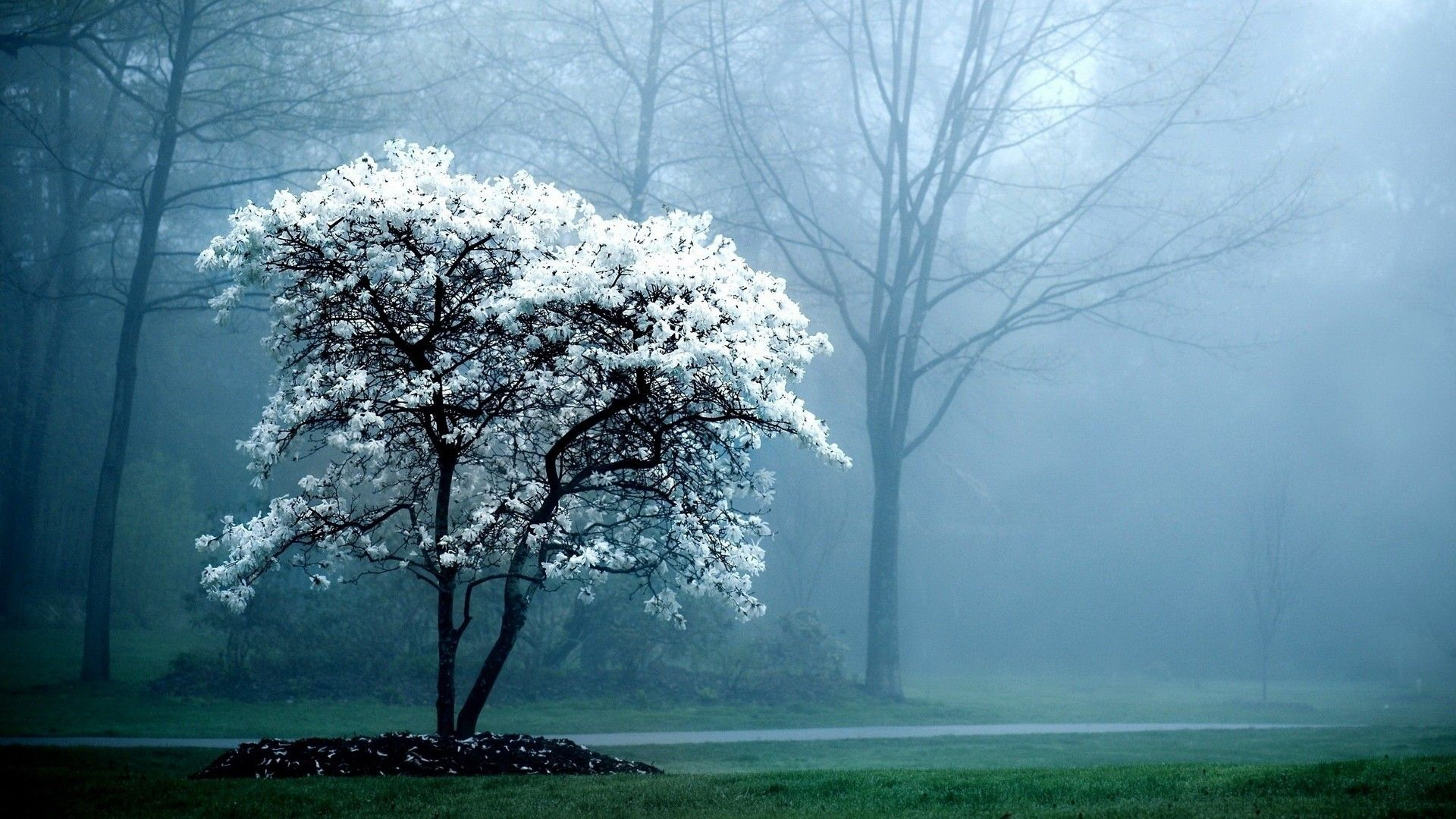 Landscapes Trees Fog Magnolia White Flowers Flowered Trees Hd Nature Wallpapers Beautiful Nature Wallpaper Computer Wallpaper Desktop Wallpapers