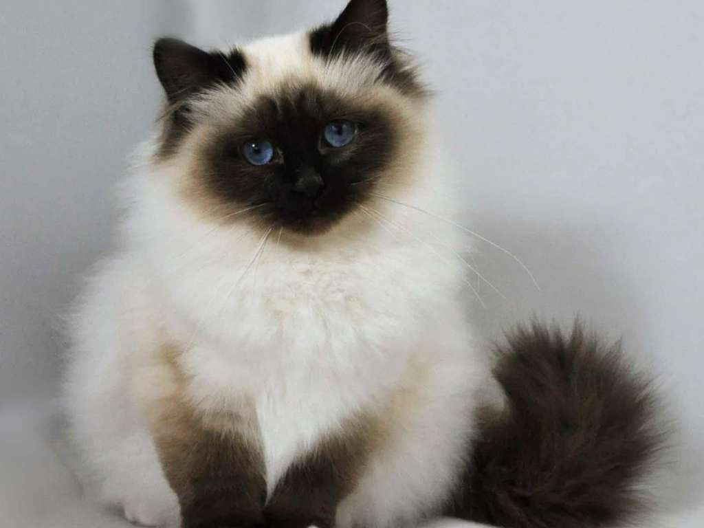The Best Long Haired Cat Breeds Angora Cats Beautiful Cats Cats And Kittens