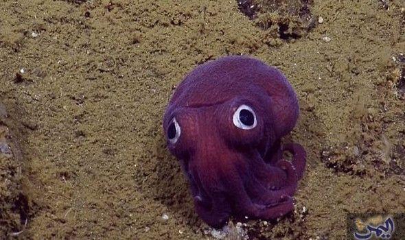 باحثون يؤك دون اكتشاف حبار جاحظ العينين أسفل قاع بحر كاليفورنيا