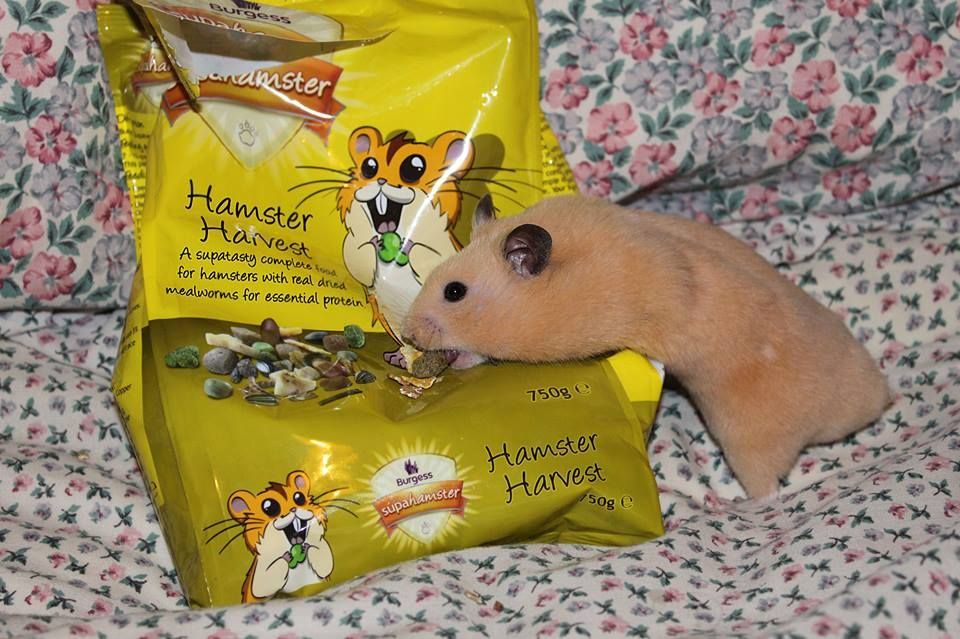 Orlando with Burgess Hamster Harvest Your pet, Hamster, Pets