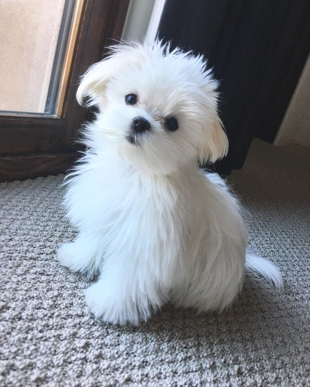Mi Piace 2 222 Commenti 31 Maltese Dog Maltese Dog Love