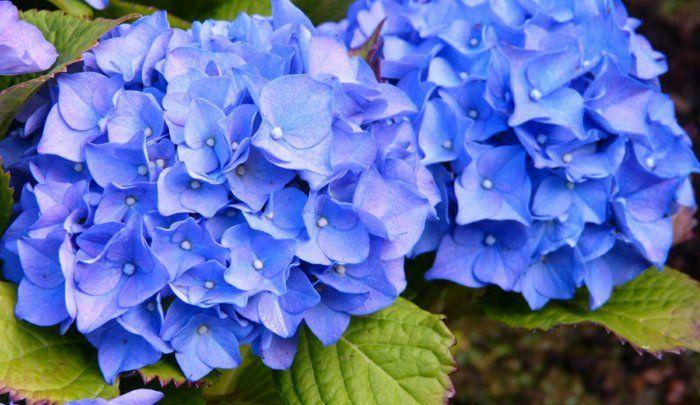 blaue hortensie sorgt f r eine pr chtige farbe im garten blaue hortensie hortensie und hortensien. Black Bedroom Furniture Sets. Home Design Ideas