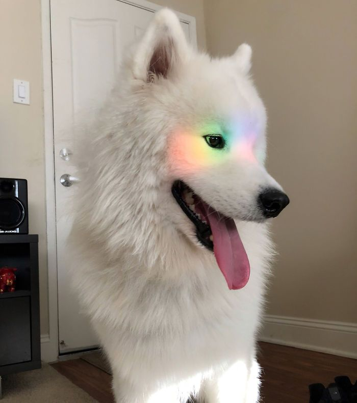 Photo of If These 302 Samoyed Photos Don't Make You Smile, Nothing Will