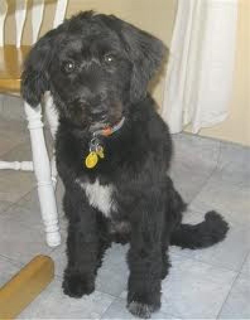 Petyourdog Com Pet Your Dog Bordoodle With Black Hair Fur Coat