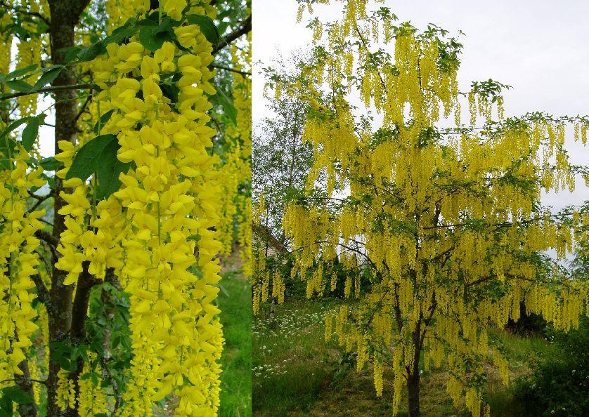 Golden chain tree laburnum watereri vossi vossi golden chain tree plants mightylinksfo