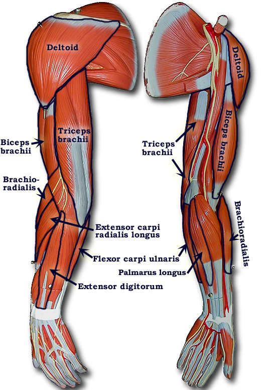 photo of arm muscle model with outlined and named muscles | yoga, Muscles